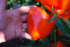 Pepper Variety 'Valencia' 2, Hand for Scale