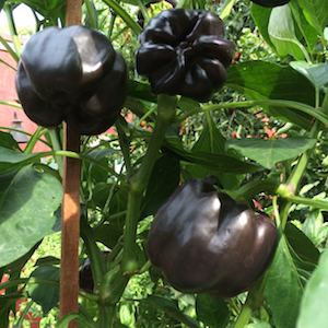 Pepper Varieties-'Chocolate Bell'