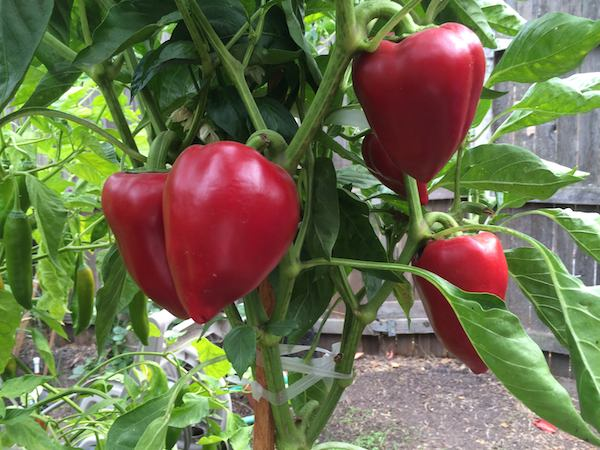 Pepper Varieties, Bell Pepper Varieties