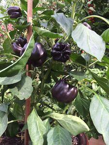 Pepper Varieties-'Purple Beauty'