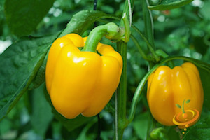Pepper Varieties-'Sun Bright'