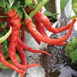 'Italian Pepperoncini' Heirloom Pickling Peppers