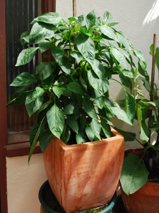 'Vidi' Red Bell Pepper Growing in a Terra-Cotta Pot