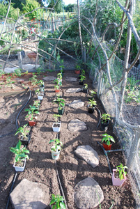 Planting Peppers—Setting Out Plants
