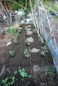 Set Out Tomato Seedlings for Planting