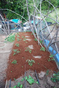 Plant Tomato Seedlings, Mulch Bed