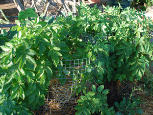Growing Potatoes in 'Potato Towers'