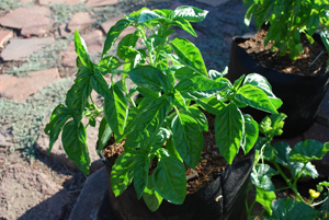 Growing Basil in Containers–'Genovese' Basil in a 3-gallon Smart Pot