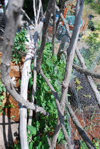 Tomatoes Growing Through a Redwood Branch Trellis 3