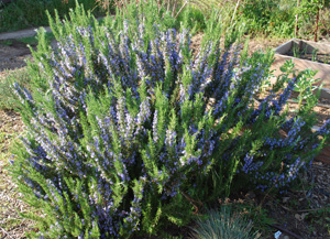 'Tuscan Blue' Rosemary