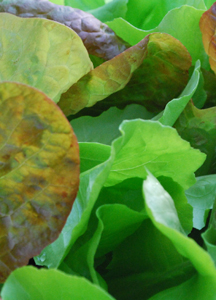 SaladScape1