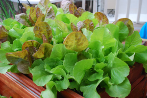 SaladScape of 'Santoro' and 'Continuity' (a.k.a., 'Mervielles de quatre Saison' Lettuces 1