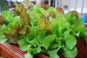'Mervielles de quatre Saison' (a.k.a. 'Continuity') and 'Santoro' Lettuce in a SaladScape Tray