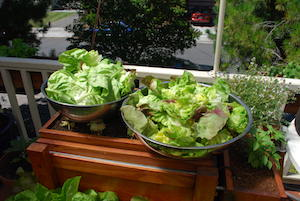 Lettuce Harvest from the SaladScape