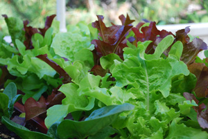 Red and Green Oakleaf Lettuce Growing in a SaladScape