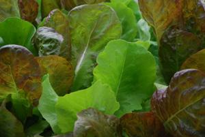SaladScape of 'Santoro' and 'Mervielles de quatre Saison' (a.k.a., 'Continuity') Lettuce, Closeup 5