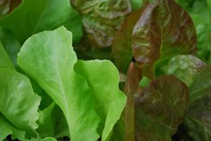 SaladScape of 'Santoro' and 'Mervielles de quatre Saison' (a.k.a., 'Continuity') Lettuce, Closeup 6