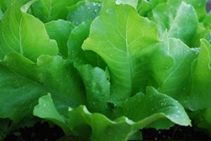 'Santoro' Lettuce Growing in a SaladScape 1