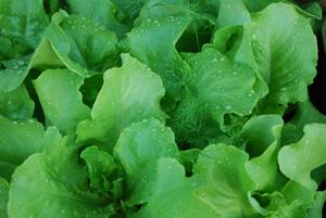 'Santoro' Lettuce Growing in a SaladScape 5
