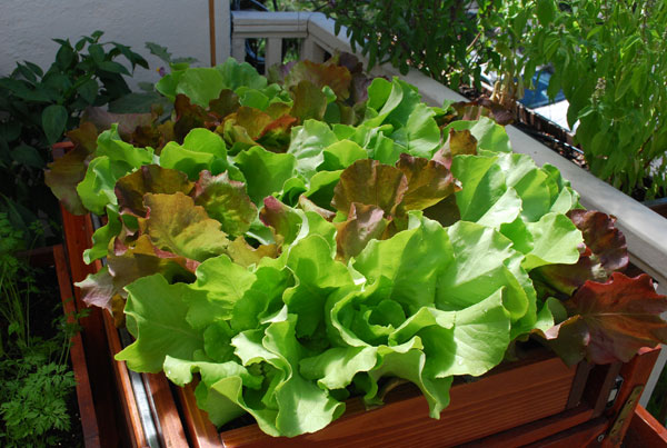 Growing lettuce how to grow lettuce planting lettuce growing lettucesaladscape of skyphos and santoro lettuce ccuart Image collections