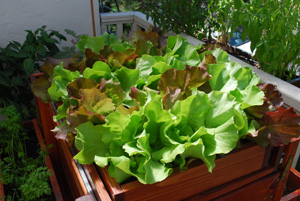 'Skyphos' and 'Santoro' Lettuce Growing in a SaladScape 2