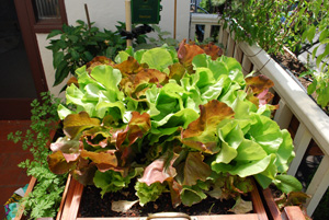 'Skyphos' and 'Santoro' Lettuce Growing in a SaladScape 3
