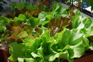 'Skyphos' and 'Santoro' Lettuce Growing in a SaladScape 4