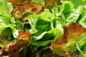'Skyphos' and 'Santoro' Lettuce Growing in a SaladScape, Closeup 3