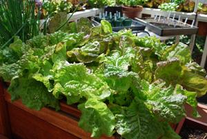 SaladScape of Drunken Woman Frizzy Headed and 'Continuity' (Mervielles de Quatre Saison) Lettuce