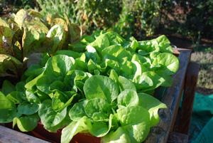 'Garden Babies' Butterhead Lettuce Growing in a SaladScape