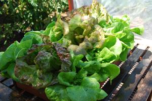 'Matchless' and 'Mervielles de quatre Saison' (a.k.a., 'Continuity') Lettuce Growing in a SaladScape 2