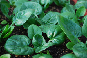'Catalina' Spinach Growing in a SaladScape