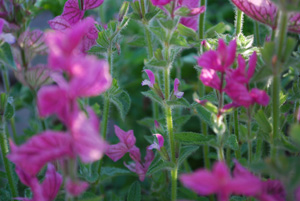 Salvia 'Marble Arch'