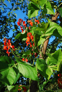 Scarlet Runner Beans Flowering