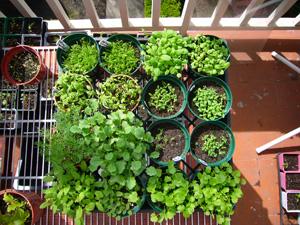 Starting Seeds for 2008 Garden 1