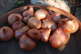 Growing Shallots—'Ambition'