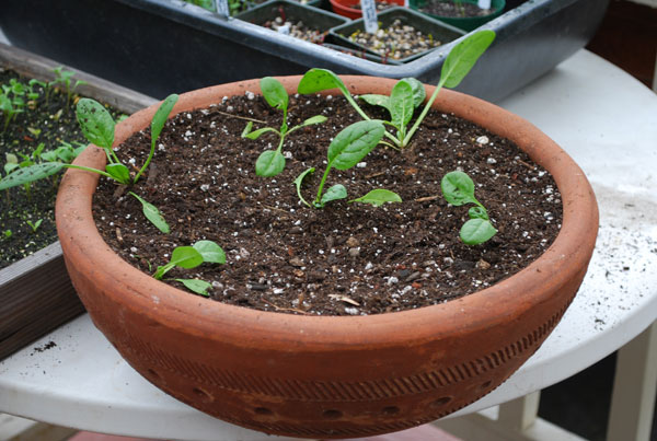 Spinach In A Terra Cotta Pot
