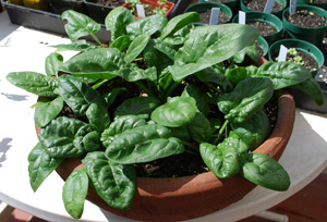 Growing Spinach in a Terra-Cotta Pot