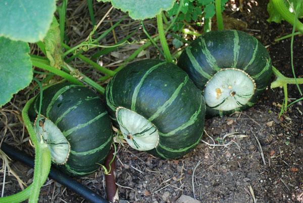 hokkaido pumpkin growing
