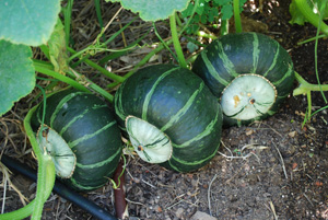 Growing Squash—'Bonbon' Buttercup