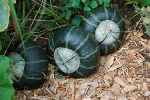 'Bonbon' Buttercup Winter Squash