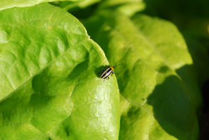 Striped Cucumber Beetle 1