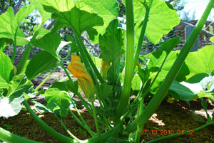 Growing Squash—'Sunburst' Patty Pan