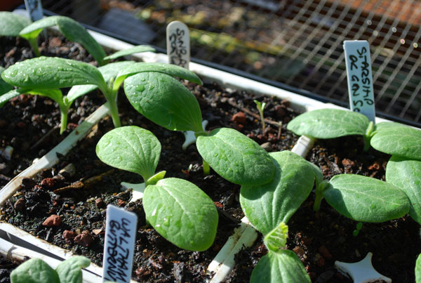 Pumpkin and Winter Squash Seeds to buy in the UK from The