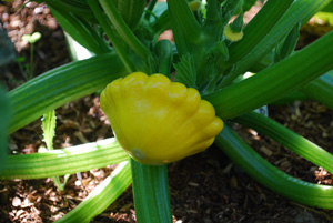 Growing Summer Squash—'Sunburst' Patty Pan