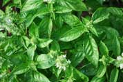 Growing Basil—'Genovese'