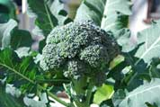 Growing Broccoli 2