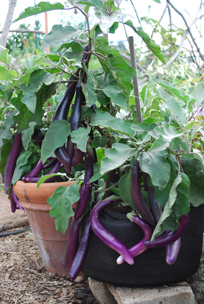 Teenage Eggplants Hanging Out
