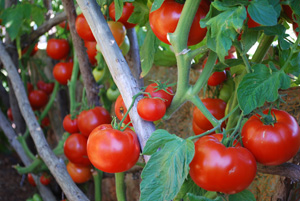 Tomato Varieties 'Big Beef' Vine