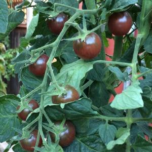 Tomato Varieties—'Black Cherry' on the Vine